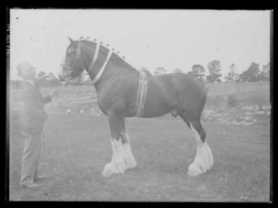 Glass negative, image of a Clydesdale horse