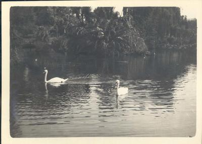 Photograph from Frank Laver's photograph album, image of swans c1910